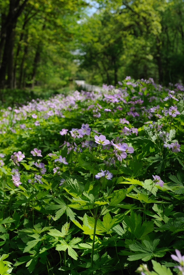 Chicago woodland flowers